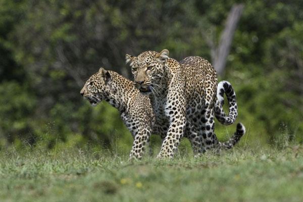Kabuso mit einem ihrer Jungen. Ihre sehr hohe Geburtenrate (und Überlebensquote ihrer Jungen) bringt man in der Masai Mara sehr gerne in Verbindung mit dem hohen Nahrungsangebot in ihrem Revier. Sie lebt an der Grenze zur Olare-Orok Conservancy und soll s