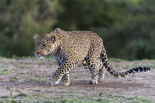 Leopard auf der Pirsch