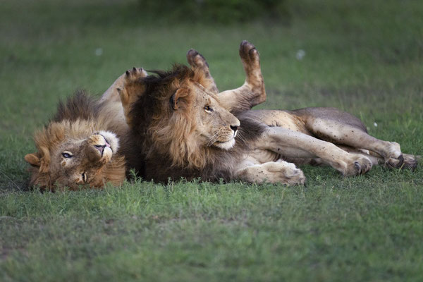 Die beiden jungen Löwen aus dem Fig-Tree Rudel wieder vereint im Abendlicht