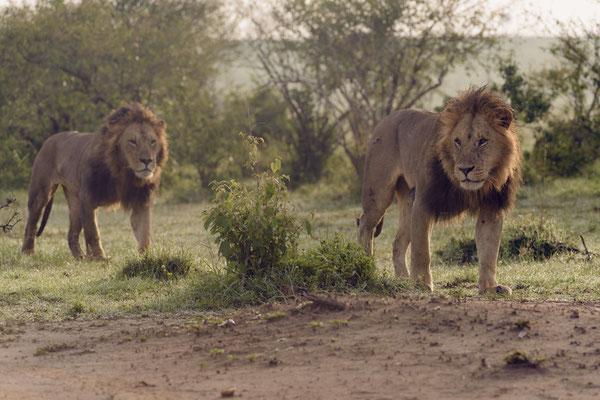 Zwei junge Löwen aus dem Fig-Tree Rudel durchstreifen das Terrain von Lipstick und Blacky und kommen dabei den Löwinnen mit ihrem Nachwuchs sehr nahe.