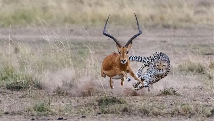 """Die """"Kür"""", und es scheint, dass der Gepard ganz kurz vor dem Zuschlagen war"""