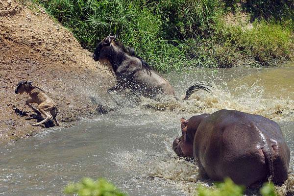 First it seems, that the hippo bull scares the wildebeests only to defend his territory Zuerst macht es den Anschein, dass der Hippobulle die Gnus nur verscheucht, um sein Revier zu verteidigen.  ©Uwe Skrzypczak, D. M. Tours Photo Safari & Workshop Maasai