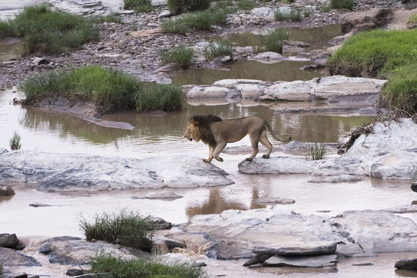 Der andere Löwe kommt auf den Zuruf tatsächlich zurück