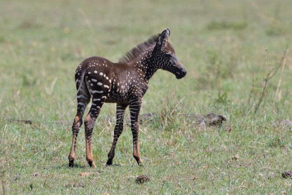Eine kleine Sensation, in der Mara geborener, negativ gefleckter kleiner Zebrahengst.