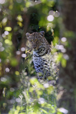 Leopard tief im Uferdickicht verborgen