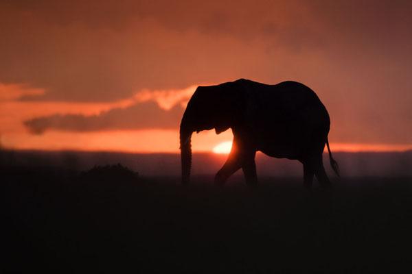 Ein Elefant vor aufziehenden Wolke bei Sonnenaufgang