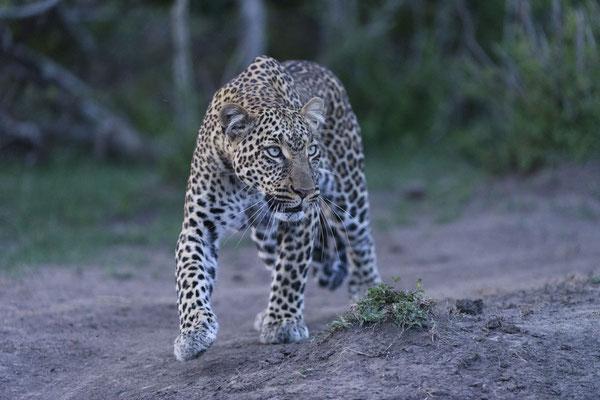 Leopard im blauen Abendlicht nach Sonnenuntergang