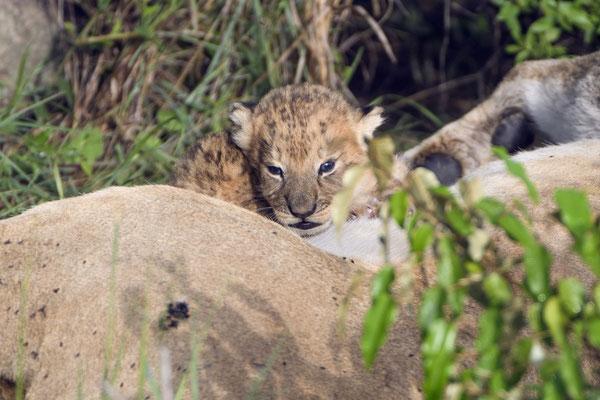 Die Löwin schob die Babys dann mit ihrer Pranke an sich heran, damit sie bei ihr trinken konnten