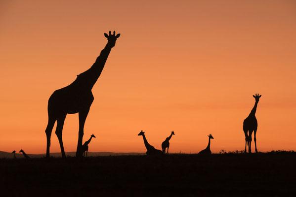 Giraffengruppe kurz vor dem Sonnenaufgang