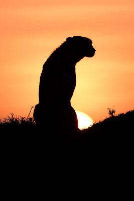 Geparden als sehr schöne Silhouetten ... fotografiert Uwe Skrzypczak
