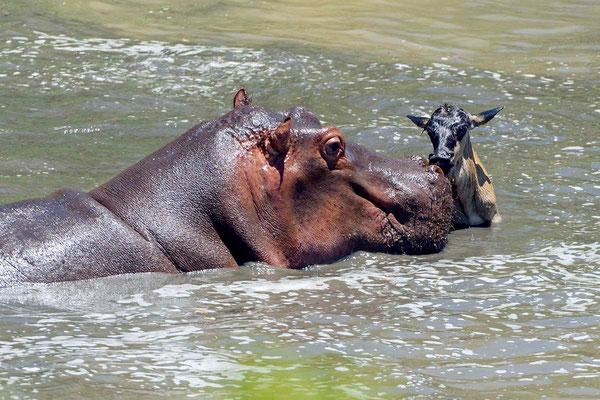It seems, the wildebeest calf keeps the hippo for his substitute mother (typical behavior of orphaned wildebeest calves). Das ahnungslose Gnukalb scheint das Hippo noch für eine Art Ersatzmutter zu halten (typisches Verhalten von Gnu-Waisen). ©Uwe Skrzypc