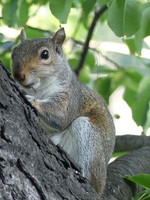 Les écureuils de Central Park (ne) sont pas tristes le lundi...
