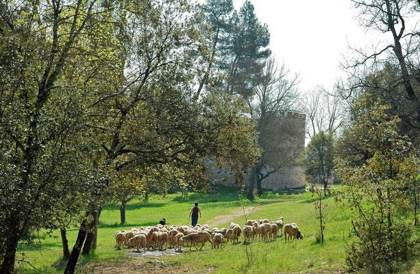 départ du troupeau pour les pâturages