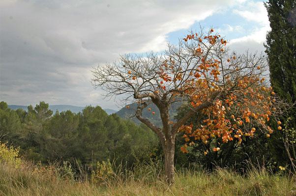 kakis sur ciel d'automne