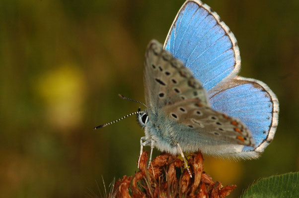 lysandra bellargus. photo s&m archives
