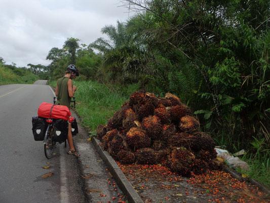La recolte des palmiers a huile