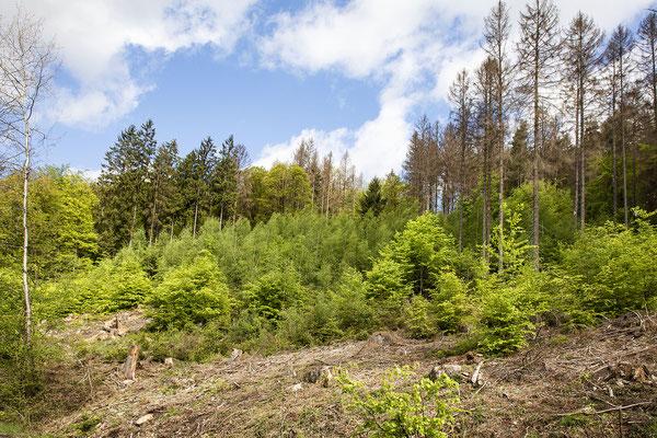 KwK-15 (Naturverjüngung ohne Neuanpflanzung, Wohmbachtal, Eitorf, 2021)
