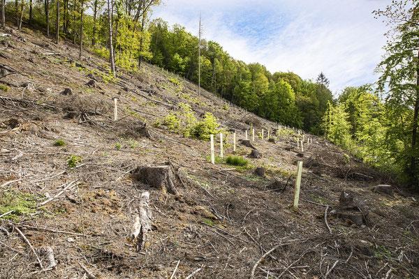 KwK-10 (partielle, geschützte Neuanpflanzung mit Luftaussaat und Naturaufwuchs, Wohmbachtal, Eitorf, 2021)