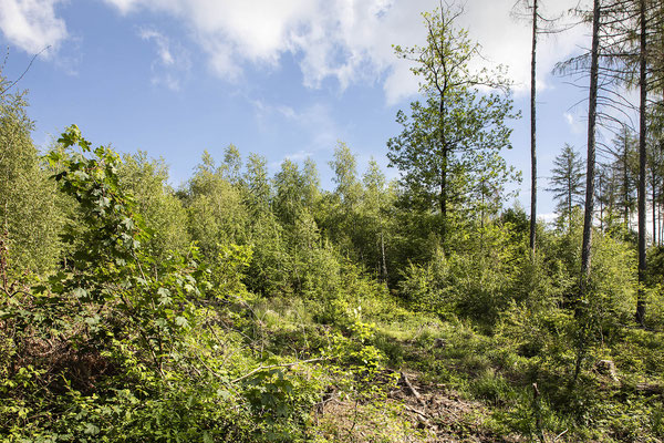 KwK-16 (Naturverjüngung ohne Neuanpflanzung, Nähe K55 unterhalb Römerweg bei Windeck-Wilberhofen, 2021)