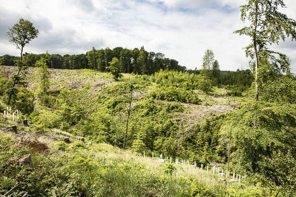 KwK-13 (Naturverjüngung mit gezielter Neuanpflanzung, Kesselbachtal, südlich Windeck-Stromberg, 2021)