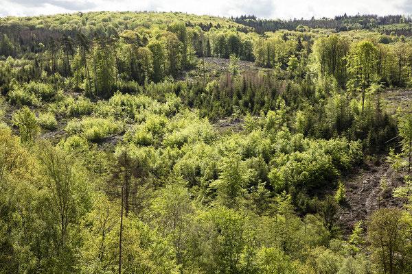 KwK-17(möglicher Zukunftswald mit vielen Baumarten in allen Altersstufen, Wohmbachtal, Eitorf, 2021)