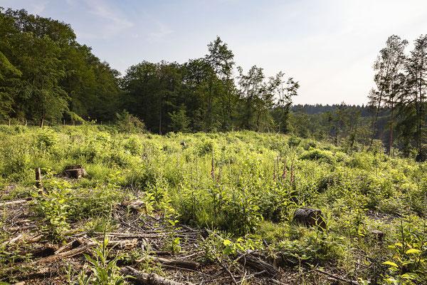 KwK-12 (partielle, geschützte Neuanpflanzung mit Naturaufwuchs, südlich Eitorf-Hohn, 2021)