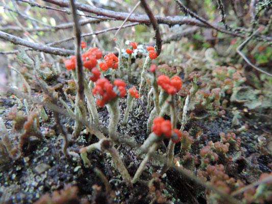 Cladonia floerkeana