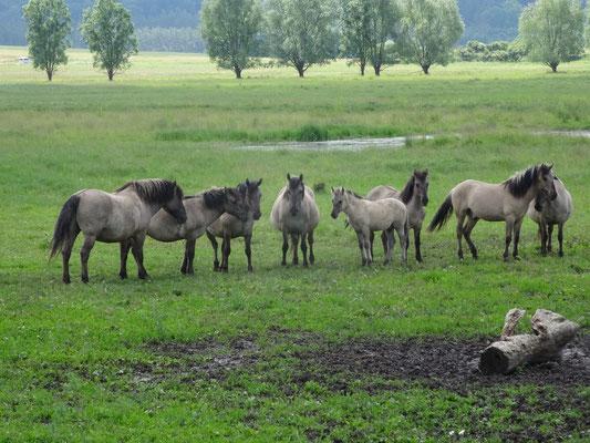 Konik-Pferde auf der Ganzjahresweide