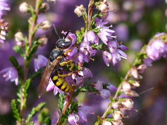 Bienenwolf auf Nektarsuche (Foto: Kerstin Gründel)