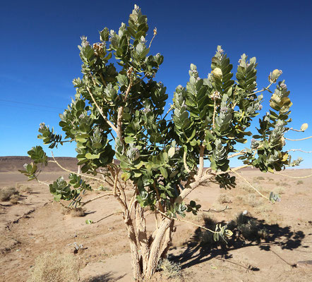Oscher oder Fettblattbaum (Calotropis procera)
