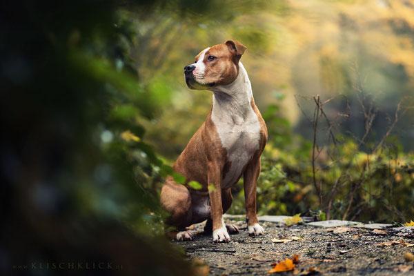 Amstaff Hundefotograf Berlin