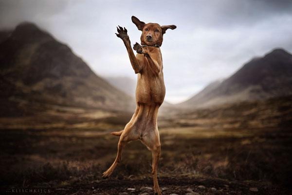 Hund Glencoe