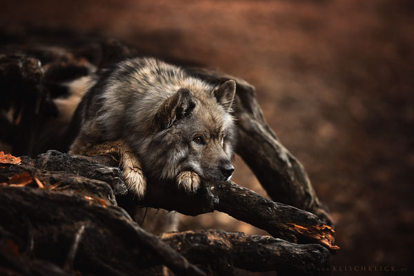 Eurasier Hundefotograf Berlin
