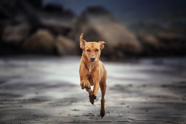 Hund Strad Staffin
