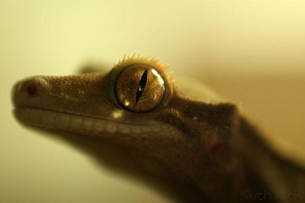 Kronengecko Auge