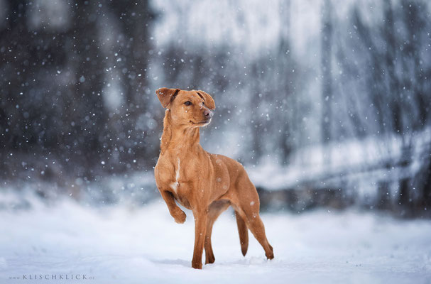 Podencomix steht vor im Schnee