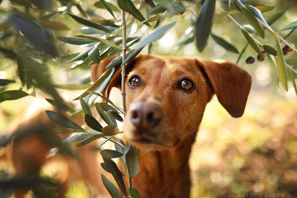 Olivenhain am Gardasee