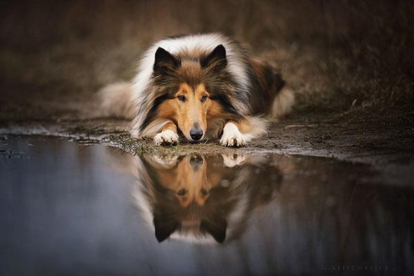 Collie  Hundefotograf Berlin