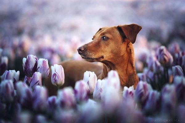 Hund Tulpenfelder Emmeloord