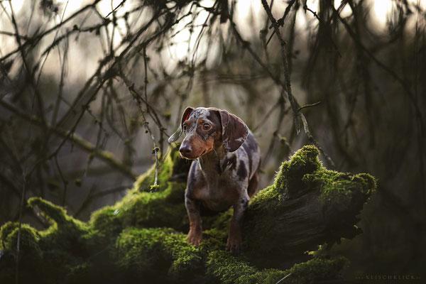 Tigerdackel Hundefotograf Berlin
