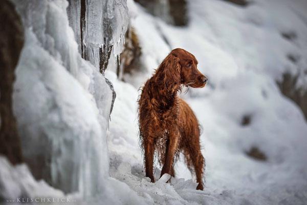 roter Irisch Setter im Schnee / Hundefotograf