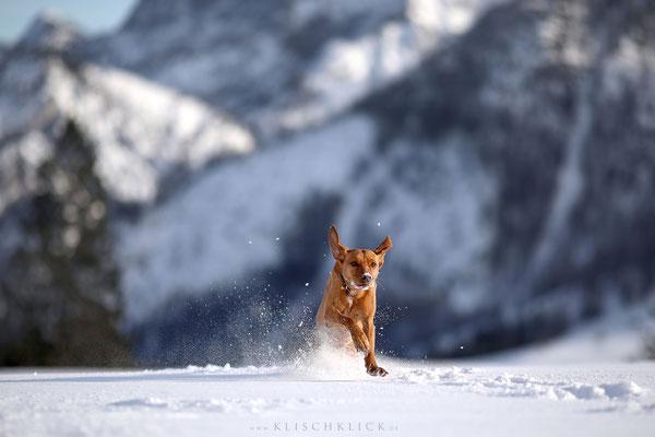 Podencomix im Schnee