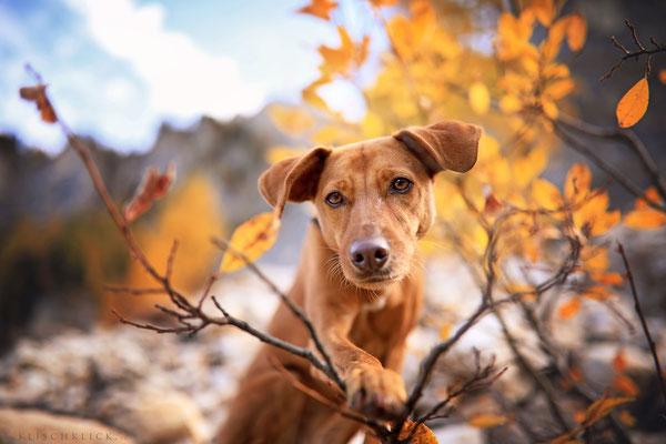 Herbsthund Pina Geißlergruppe