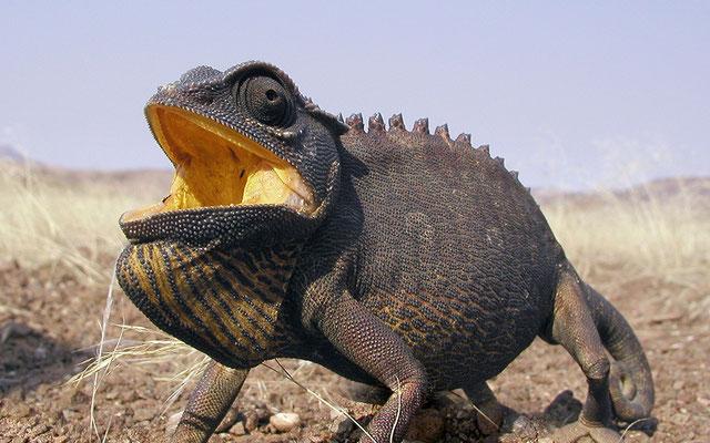 Chameleon Wüste Namib