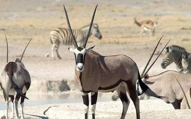 Oryx Antilope Etosha Nationalpark