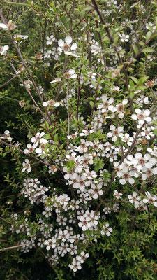 Fleurs de Manuka blanches