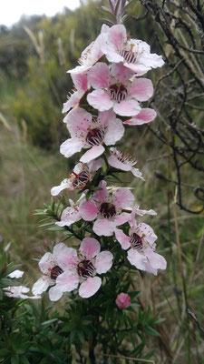 Fleurs de Manuka roses