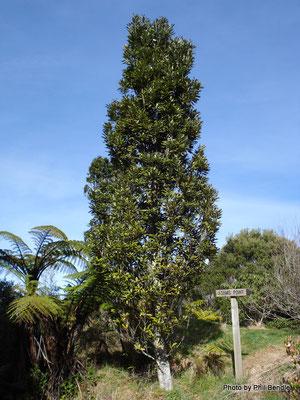Rewarewa tree - credits: Phil Bendle http://www.terrain.net.nz