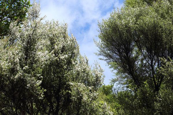 Arbre Manuka en forme buisson
