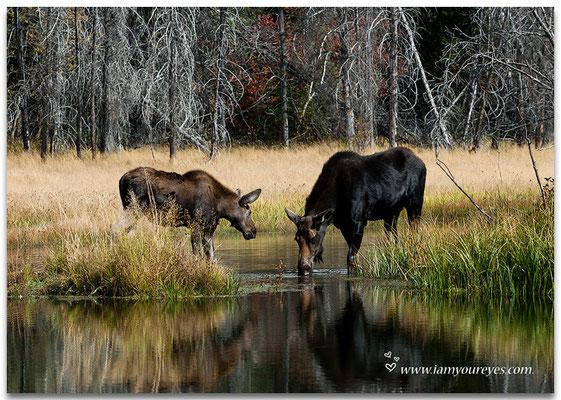 Elanden naast de Moose-Wilson Road